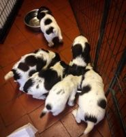English Springer Spaniel Puppies for sale in Round Rock, TX, USA. price: NA