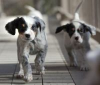 English Springer Spaniel Puppies for sale in Honolulu, HI, USA. price: NA