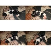English Springer Spaniel Puppies for sale in Winchester, KY 40391, USA. price: NA