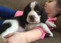 English Springer Spaniel Puppies for sale in Buffalo, NY, USA. price: NA