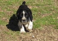English Springer Spaniel Puppies for sale in Ashburn, VA, USA. price: NA