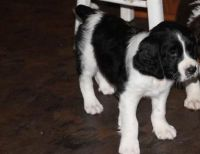 English Springer Spaniel Puppies for sale in Kansas City, KS, USA. price: NA