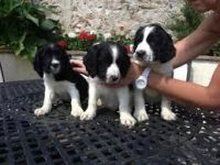 English Springer Spaniel Puppies for sale in Beaver Creek, CO 81620, USA. price: NA