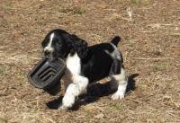 English Springer Spaniel Puppies for sale in Omaha, NE, USA. price: NA