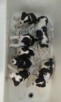 English Springer Spaniel Puppies for sale in Fresno, CA, USA. price: NA