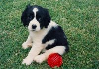 English Springer Spaniel Puppies for sale in Charlotte, NC, USA. price: NA