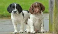 English Springer Spaniel Puppies for sale in Chattanooga, TN, USA. price: NA