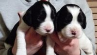 English Springer Spaniel Puppies for sale in Saginaw, MI, USA. price: NA