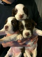 English Springer Spaniel Puppies for sale in New Orleans, LA, USA. price: NA