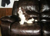 English Springer Spaniel Puppies for sale in Portland, OR, USA. price: NA