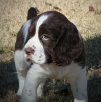 English Springer Spaniel Puppies for sale in Chula Vista, CA, USA. price: NA