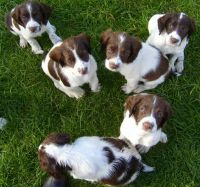 English Springer Spaniel Puppies for sale in Montgomery, AL, USA. price: NA