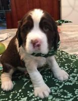 English Springer Spaniel Puppies for sale in East Los Angeles, CA, USA. price: NA