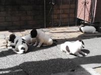 English Springer Spaniel Puppies for sale in California City, CA, USA. price: NA