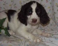 English Springer Spaniel Puppies for sale in Alma Center, WI 54611, USA. price: NA