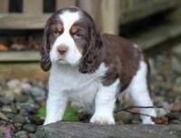 English Springer Spaniel Puppies for sale in St. Louis, MO, USA. price: NA