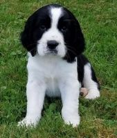 English Springer Spaniel Puppies for sale in Bel Air, Los Angeles, CA, USA. price: NA