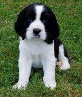 English Springer Spaniel Puppies for sale in Baywood-Los Osos, CA 93402, USA. price: NA