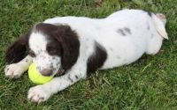 English Springer Spaniel Puppies for sale in Cedar Rapids, IA, USA. price: NA