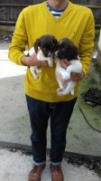 English Springer Spaniel Puppies for sale in Houston, TX, USA. price: NA