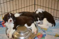 English Springer Spaniel Puppies for sale in Altoona, FL 32702, USA. price: NA