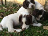 English Springer Spaniel Puppies for sale in Raleigh School Dr, Raleigh, NC 27607, USA. price: NA