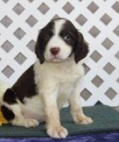 English Springer Spaniel Puppies for sale in San Francisco, CA, USA. price: NA