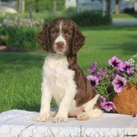 English Springer Spaniel Puppies for sale in TX-249, Houston, TX, USA. price: NA