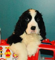 English Springer Spaniel Puppies for sale in Renick, WV 24966, USA. price: NA