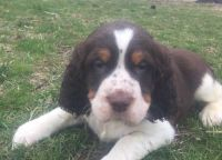 English Springer Spaniel Puppies for sale in Kingsport, TN 37660, USA. price: NA