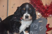 English Springer Spaniel Puppies for sale in East Palestine, OH 44413, USA. price: NA
