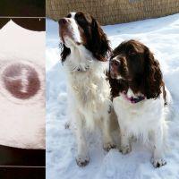 English Springer Spaniel Puppies for sale in Churubusco, NY 12923, USA. price: NA