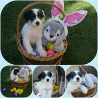 English Springer Spaniel Puppies for sale in Placentia, CA, USA. price: NA