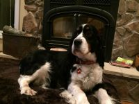 English Springer Spaniel Puppies for sale in Lawton, MI 49065, USA. price: NA