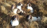 English Springer Spaniel Puppies for sale in Pottsboro, TX 75076, USA. price: NA