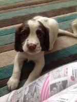 English Springer Spaniel Puppies for sale in Jersey City, NJ, USA. price: NA