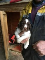English Springer Spaniel Puppies for sale in Anchorage, AK, USA. price: NA