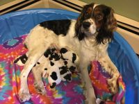 English Springer Spaniel Puppies for sale in Little Suamico, WI 54141, USA. price: NA