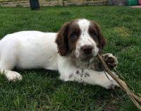 English Springer Spaniel Puppies for sale in 340 S 600 W, Salt Lake City, UT 84101, USA. price: NA