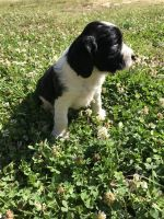 English Springer Spaniel Puppies for sale in Moncks Corner, SC 29461, USA. price: NA