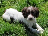 English Springer Spaniel Puppies for sale in Miami, FL, USA. price: NA