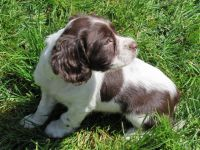 English Springer Spaniel Puppies for sale in Springfield, IL, USA. price: NA