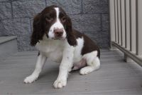 English Springer Spaniel Puppies for sale in Canton, OH, USA. price: NA