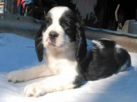 English Springer Spaniel Puppies for sale in Seattle, WA, USA. price: NA