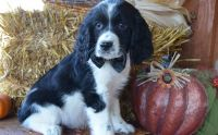 English Springer Spaniel Puppies for sale in Escondido, CA, USA. price: NA