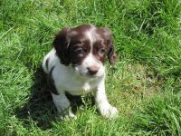 English Springer Spaniel Puppies for sale in Olympia, WA, USA. price: NA