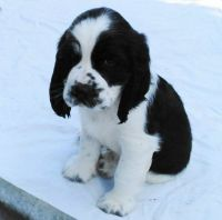English Springer Spaniel Puppies for sale in Austin, TX, USA. price: NA