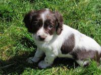 English Springer Spaniel Puppies for sale in Dallas, TX, USA. price: NA
