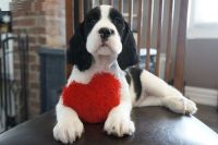 English Springer Spaniel Puppies for sale in Mound, MN 55364, USA. price: NA
