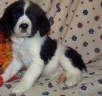 English Springer Spaniel Puppies for sale in Tucson, AZ, USA. price: NA
